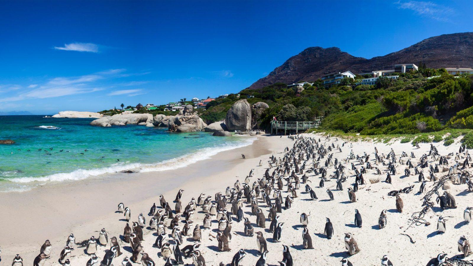 Cape Point Peguins