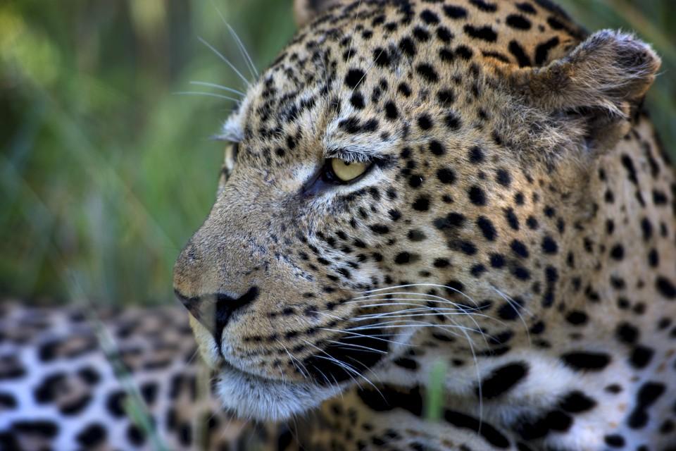 Kapaman_Leopard