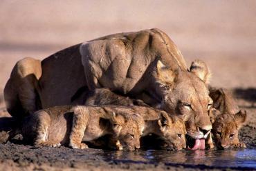 Kapama Lions
